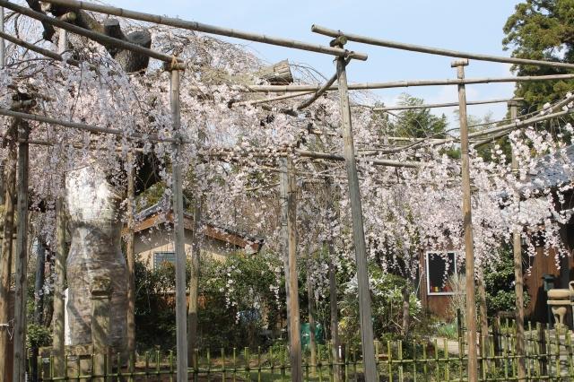 ▲松江市天然記念物 千手院のしだれ桜